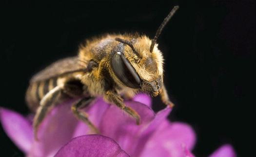 abelha-polinizacao