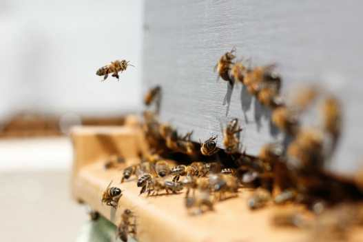 abelhas-insubstituiveis2