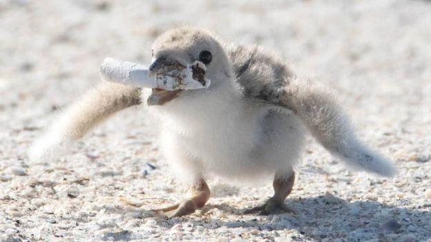 pássaro filhote bituca2